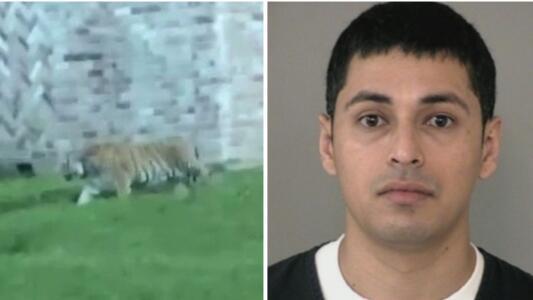 Se mantiene la búsqueda del tigre que deambuló por las calles de Houston, mientras su presunto dueño sigue en la cárcel