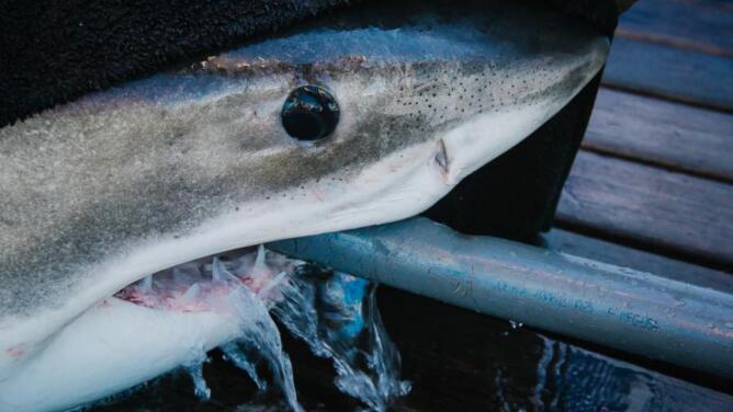 El tiburón George es visto de nuevo en las costas de Florida