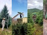 Del bosque al hogar: una historia detrás de los árboles de Navidad