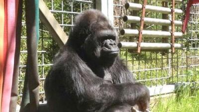 Muere Koko, la gorila que conmovió al mundo por su capacidad para entender lenguaje de señas
