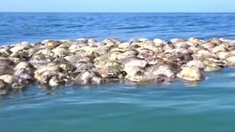 Hallan cientos de tortugas muertas en redes de pesca en el mar al sur de México