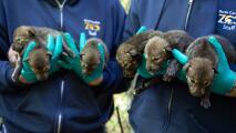 Zoológico de Carolina del Norte da la bienvenida a 12 lobos rojos estadounidenses