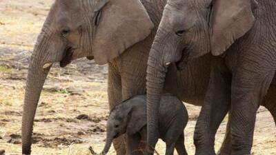 Tras indignación generalizada, Trump deja vigente la prohibición para importar trofeos de elefantes a EEUU