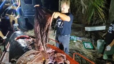 En video: Un ballenato muere de hambre tras haber ingerido casi 90 libras de plástico
