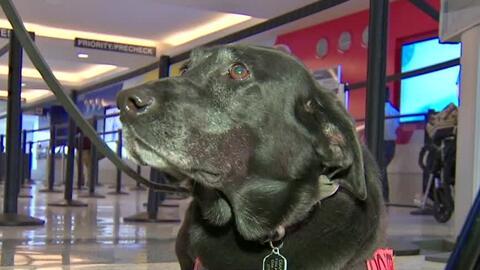 'Chicago en un Minuto': Cumple su último día de labores la primera oficial canina contra explosivos en aeropuertos del país