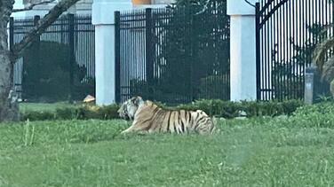 Ofrecen $ 5,000 de recompensa para encontrar a tigre desaparecido de Houston