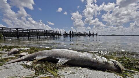 Algas contaminadas en las playas de Florida envenenan a cientos de animales