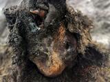 El impresionante hallazgo de un oso casi intacto de la Edad de Hielo