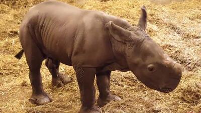 Un rinoceronte blanco recién nacido, el nuevo huésped del zoo de Copenhaguen