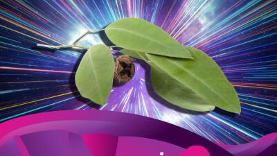 Las maravillas del eucalipto