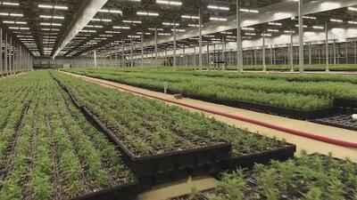 ¿Quiénes se van a beneficiar con la legalización de la marihuana recreacional en California?