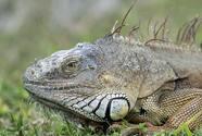 El servicio nacional del tiempo en Miami pronostica iguanas cayendo por el frío
