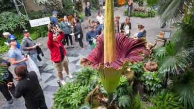 Así se ve en vivo el raro florecimiento de la apestosa 'flor cadáver' en Nueva York