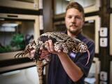 Reptil suramericano invade el sur de Florida amenaza a varias especies nativas