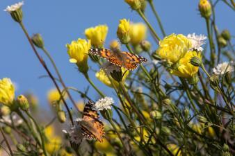 No solo a las flores, las mariposas también 'invaden' con su belleza al sur de California