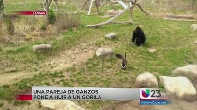 Captado en video: Gorila huye de gansos