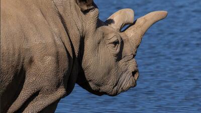 Muere el rinoceronte blanco del zoológico de San Diego