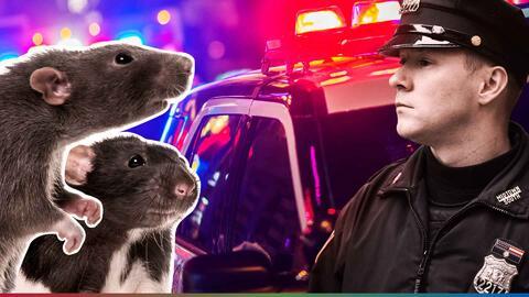 Policía culpa a las ratas por desaparición de media tonelada de marihuana