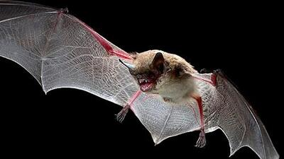 Alertan por el hallazgo de un murciélago con el virus de la rabia en el sur de California