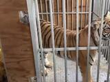Linda McIngvale, esposa de Jim 'Mattress Mack' McInvgale ayudó a organizar la entrega del tigre