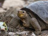 Confirman que una tortuga hallada en Galápagos es de una especie que se creía extinta hace más de un siglo