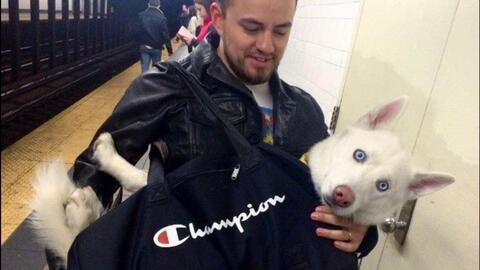 ¿Qué hacen estos perros dentro de bolsas en el metro de Nueva York?