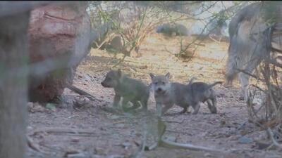 El Zoológico de Phoenix celebra el nacimiento de una camada de lobos grises mexicanos
