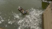 Así aturdieron a miles de carpas asiáticas para luchar contra esta especie invasora