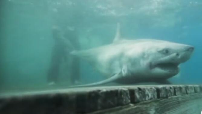 Visita inesperada: un gran tiburón blanco llega al estrecho de Long Island en busca de comida
