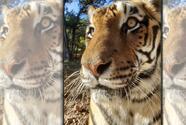 Zoológico de Austin anuncia la muerte de tigre de Bengala de 19 años