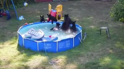 Osos se bañan en piscina de New Jersey
