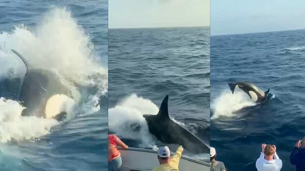 Este video de orcas nadando en las costas de Galveston está cautivando a miles. Te explicamos las razones