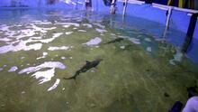 Hombre tenía siete tiburones vivos en una piscina en el sótano de su casa en Nueva York
