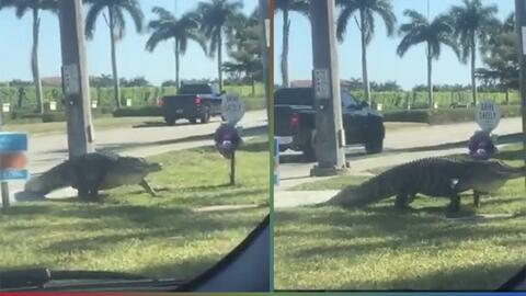 Invasión de cocodrilos jariosos sorprende la Florida