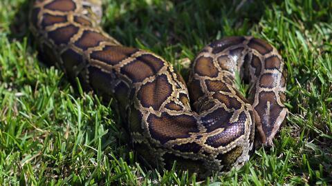 Las serpientes pitones tienen alarmados a los residentes del suroeste de Miami-Dade