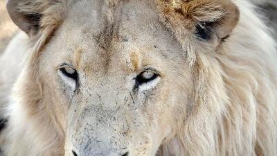 No solo los elefantes, administración Trump también restauró el permiso para importar partes de leones como trofeos