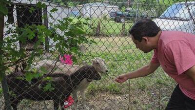 Proponen prohibir la crianza de animales de granja en áreas urbanas de Chicago