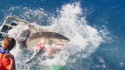 El Rey de los océanos: el verdadero papel de los tiburones blancos