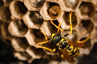 Lo que debes hacer-y lo que debes evitar- si encuentras un panel de avispas en tu residencia