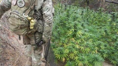 Por estas razones el mercado negro de la marihuana sigue bajo el control de narcos chinos y mexicanos en California