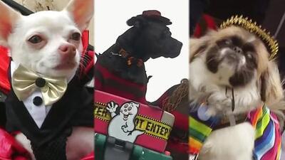 ¿Cuál fue el más original? Las mascotas desfilaron con sus disfraces de Halloween en Nueva York