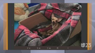 Tendencias en la red: chihuahua rescatada en escombros esperaba cachorros