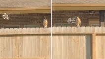 ¿Pájaro rabioso y agresivo? Mira como un sinsonte enfrenta a un halcón en una casa al sureste de Houston