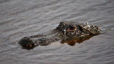 Hallan cadáver mordido por un cocodrilo en las Carolinas