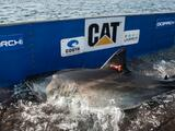 Enorme tiburón blanco reaparece frente a la costa de Virginia y Carolina del Norte