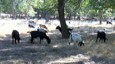 Combatir incendios forestales en California con… ¿cabras?
