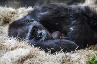 Nace segundo gorila este mes en el Lincoln Park Zoo