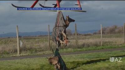 Rescatan a 79 ciervos de los bosques de California a causa de incendios forestales