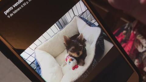 La convencieron de adoptar a este cachorrito Yorkshire y todo terminó siendo una estafa que le costó cientos de dólares