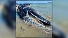 Preocupa a científicos aparición de cuatro ballenas muertas en la Bahía de San Francisco